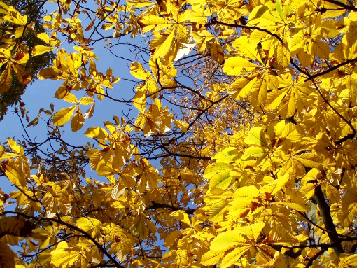 beautiful-yellow-fall-leaves-final