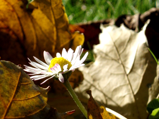 daisy-and-leaves