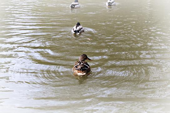random-joy-ducks-in-pond